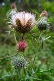 blommathistle Arkivfoton