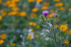 blommathistle Royaltyfria Bilder