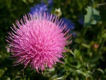 blommathistle Royaltyfri Foto