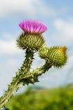 blommathistle Arkivfoto