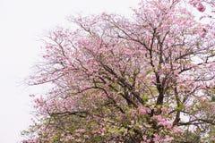 Blommaträdet i rosa färger färgar blomma, det rosa trumpetträdet Arkivbild