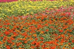 Blommaträdgård av zinniaen Arkivfoto