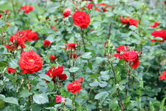 Blommaträdgård för röda rosor Arkivfoton