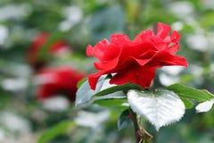 Blommaträdgård för röda rosor Fotografering för Bildbyråer