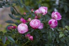blommaträdgården steg Royaltyfria Bilder