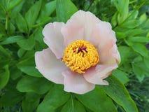 Blommaträdpion (Paeonia) Arkivfoton
