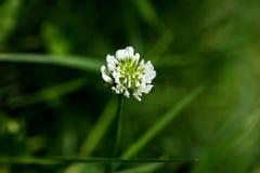 BlommaTrifoliumrepens eller konst för bakgrund för makro för familj för Dutsch växt av släktet TrifoliumLeguminosae i högkvalitat arkivbilder