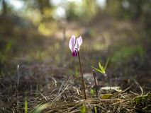 Blommatsiklomenblomman- blommar först av den israeliska vintern i strålarna av slncaen i skogen Royaltyfria Bilder