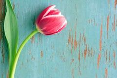 blommatulpan Royaltyfri Foto