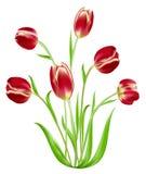 blommatulpan Arkivfoton