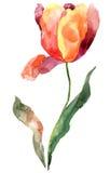 blommatulpan Arkivbilder
