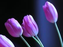 blommatulpan Arkivfoto