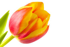 blommatulpan Royaltyfri Fotografi