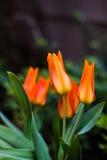 Blommatulpanbakgrund Härlig sikt av orange tulpan Fotografering för Bildbyråer