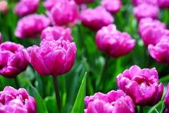 Blommatulpanbakgrund Härligt slut upp av rosa tulpanunde Royaltyfria Foton