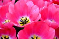 Blommatulpanbakgrund Härligt slut upp av rosa tulpanunde Arkivbilder