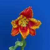 Blommatulpanfrotté i vår Royaltyfria Bilder