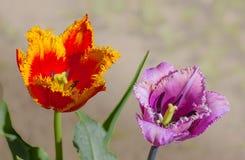 Blommatulpanfrotté i vår Royaltyfria Foton