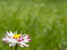 Blommatusenskönor på grön bakgrund Fotografering för Bildbyråer