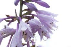 Blommavärdar i trädgård, närbild Royaltyfria Bilder