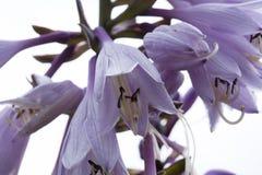 Blommavärdar i trädgård, närbild Arkivfoto