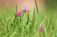 Blommaväxt av släktet Trifolium Royaltyfri Foto
