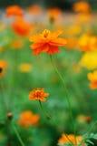 blommaväxter Royaltyfri Fotografi