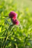 Blommaväxter av släktet Trifolium Arkivbild