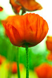 blommavallmo Royaltyfria Foton