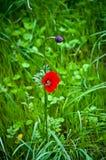 blommavallmo Royaltyfri Bild