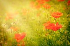 blommavallmo Arkivfoto