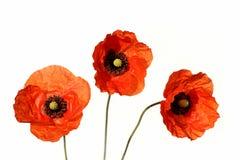 blommavallmo Royaltyfri Fotografi