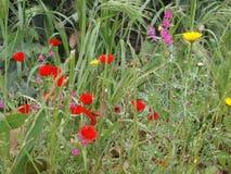 Blommavallmo och kamomill i grönt gräs Arkivbilder