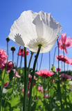 blommavallmowhite Royaltyfri Bild