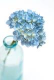 blommavanlig hortensia Royaltyfri Fotografi