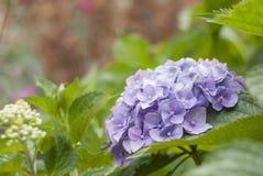 Blommavanlig hortensia Royaltyfria Bilder