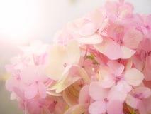 blommavanlig hortensiapink Arkivbilder