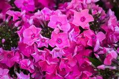 blommavanlig hortensiapink Vanlig hortensia - gemensam namnvanlig hortensia och Ho Royaltyfri Foto