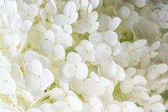 blommavanlig hortensiawhite Royaltyfri Foto