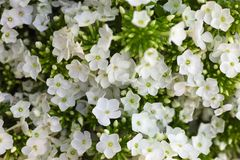 blommavanlig hortensiawhite Vanlig hortensia - gemensam namnvanlig hortensia och H Fotografering för Bildbyråer