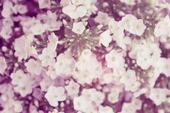 blommavanlig hortensiawhite Vanlig hortensia - gemensam namnvanlig hortensia och H Arkivbild