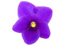 blommaviolet Fotografering för Bildbyråer
