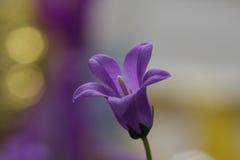 blommaviolet Arkivbild