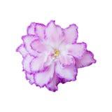 Blommaviolet som isoleras på vit bakgrund Arkivbild