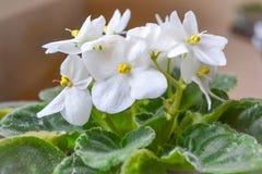 Blommavioletvit Blommor av violeten i en kruka Fotografering för Bildbyråer