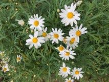Blommavitgräsplan Arkivbild