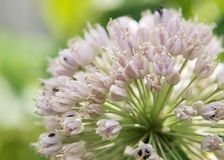 blommavitlök Arkivfoto
