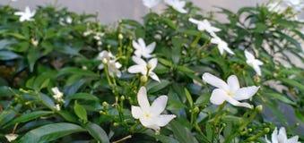 Blommavitmakro arkivbilder