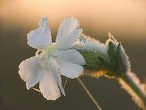 blommawhite Arkivfoton