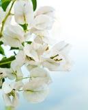 blommawhite arkivbilder